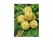 Sweet Carp HNV Fresh Made Boilies ( Ananas / Banana /...